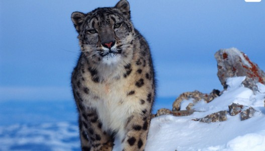 The Snow Leopard Trek